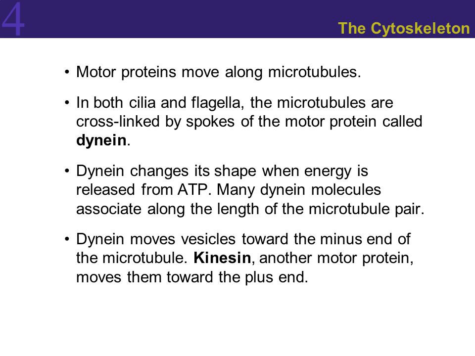 The Cytoskeleton Motor proteins move along microtubules.
