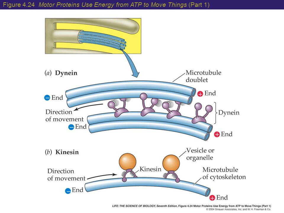 Figure 4.24 Motor Proteins Use Energy from ATP to Move Things (Part 1)