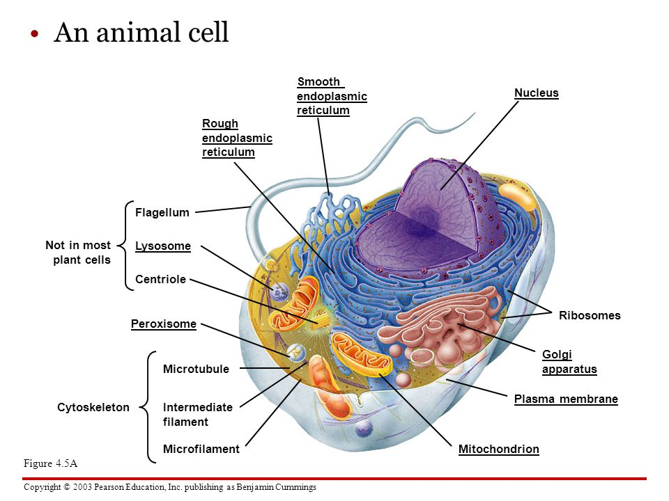 An animal cell Smooth endoplasmic reticulum Nucleus