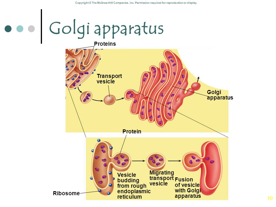 Golgi apparatus Proteins Transport vesicle Golgi apparatus Protein