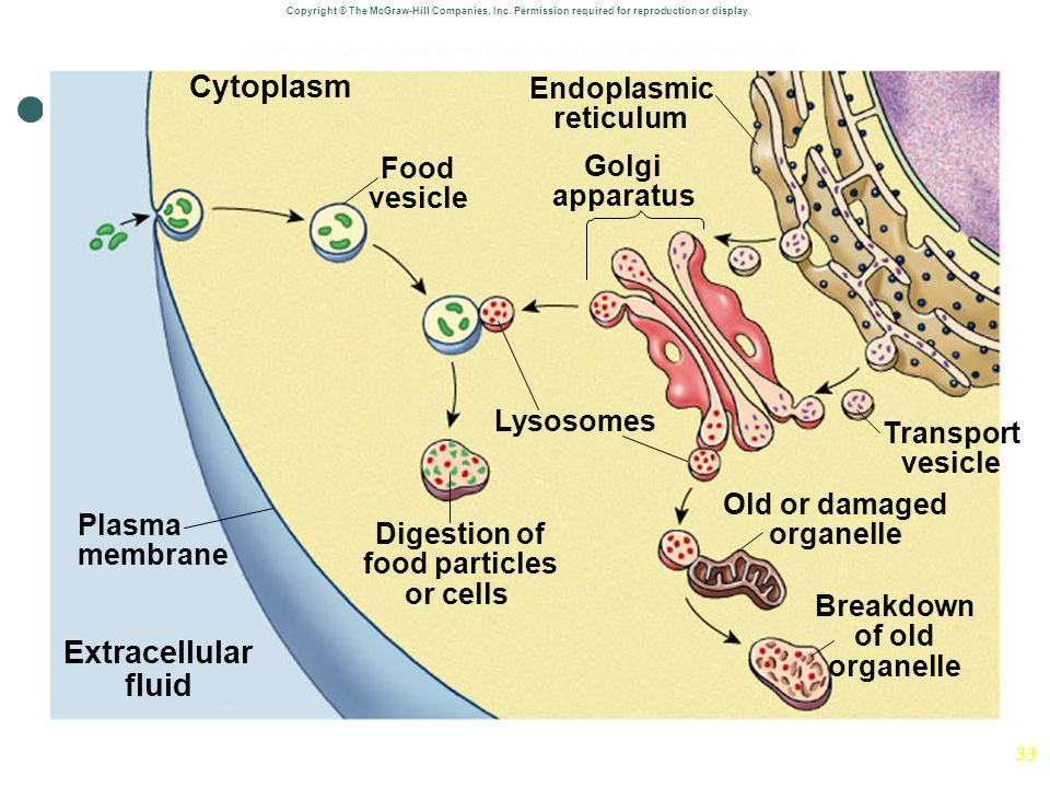 Cytoplasm Extracellular fluid
