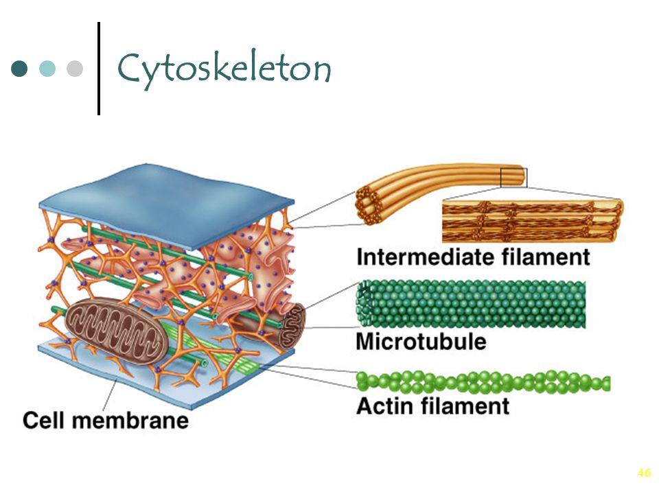 Cytoskeleton