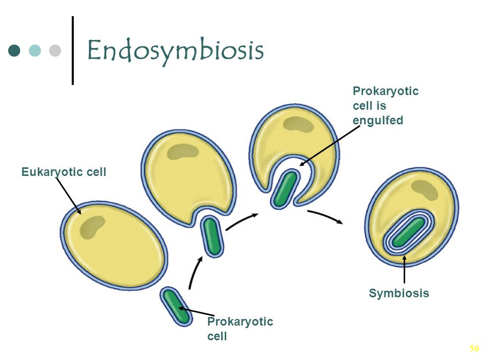 Endosymbiosis Prokaryotic cell is engulfed Eukaryotic cell Symbiosis