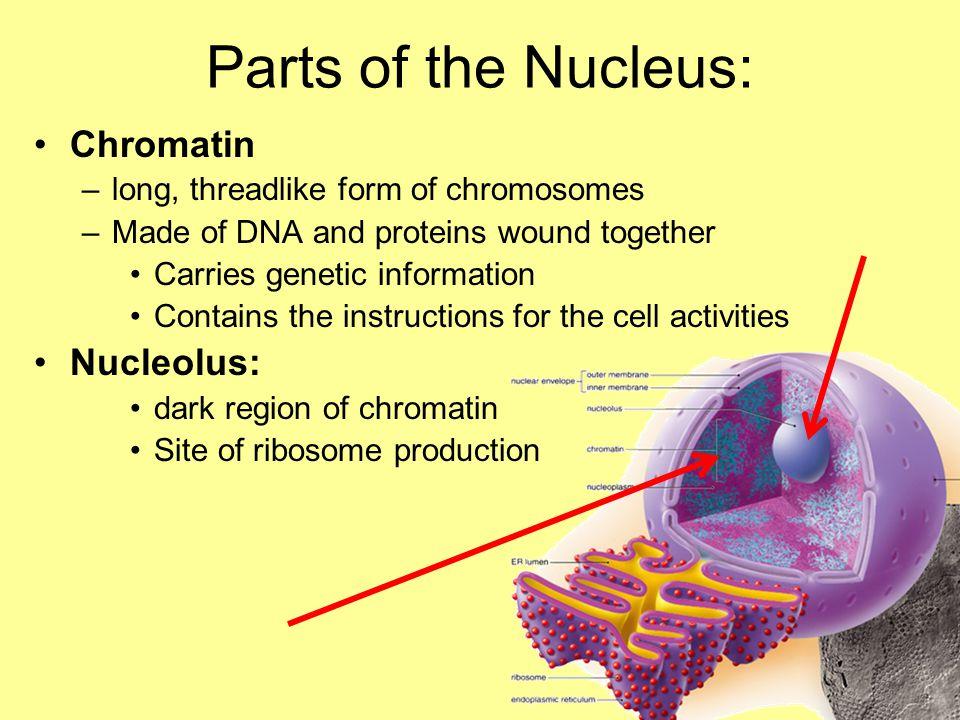Parts of the Nucleus: Chromatin Nucleolus: