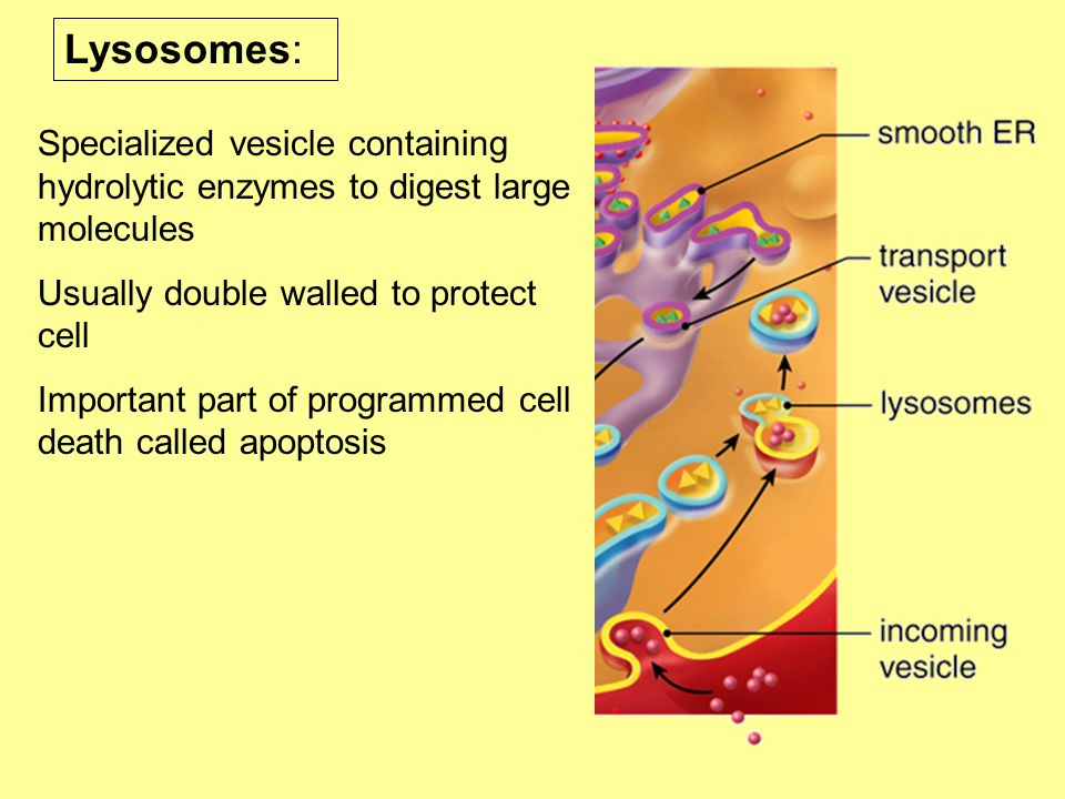Lysosomes: Specialized vesicle containing hydrolytic enzymes to digest large molecules. Usually double walled to protect cell.