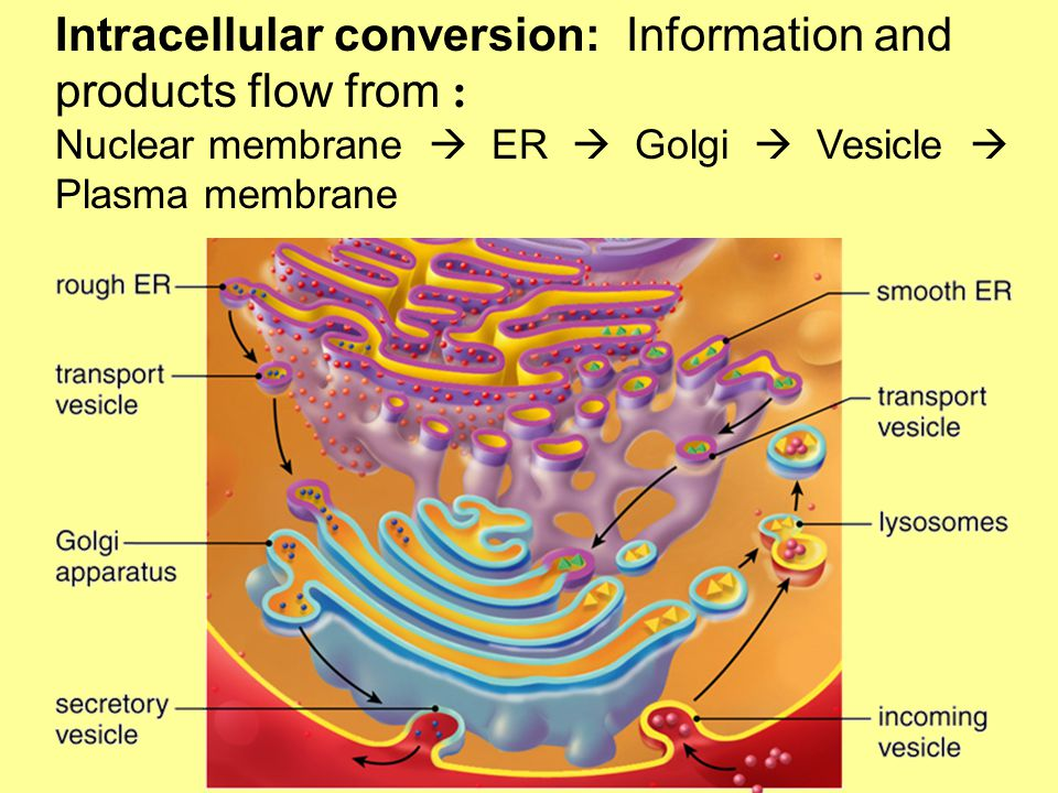 Intracellular conversion: Information and products flow from : Nuclear membrane  ER  Golgi  Vesicle  Plasma membrane