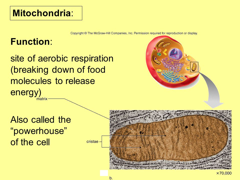 Mitochondria: Function: site of aerobic respiration (breaking down of food molecules to release energy)