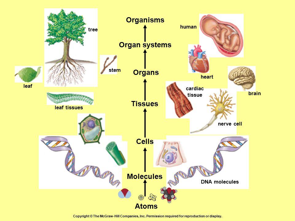 Organisms Organ systems Organs Tissues Cells Molecules Atoms