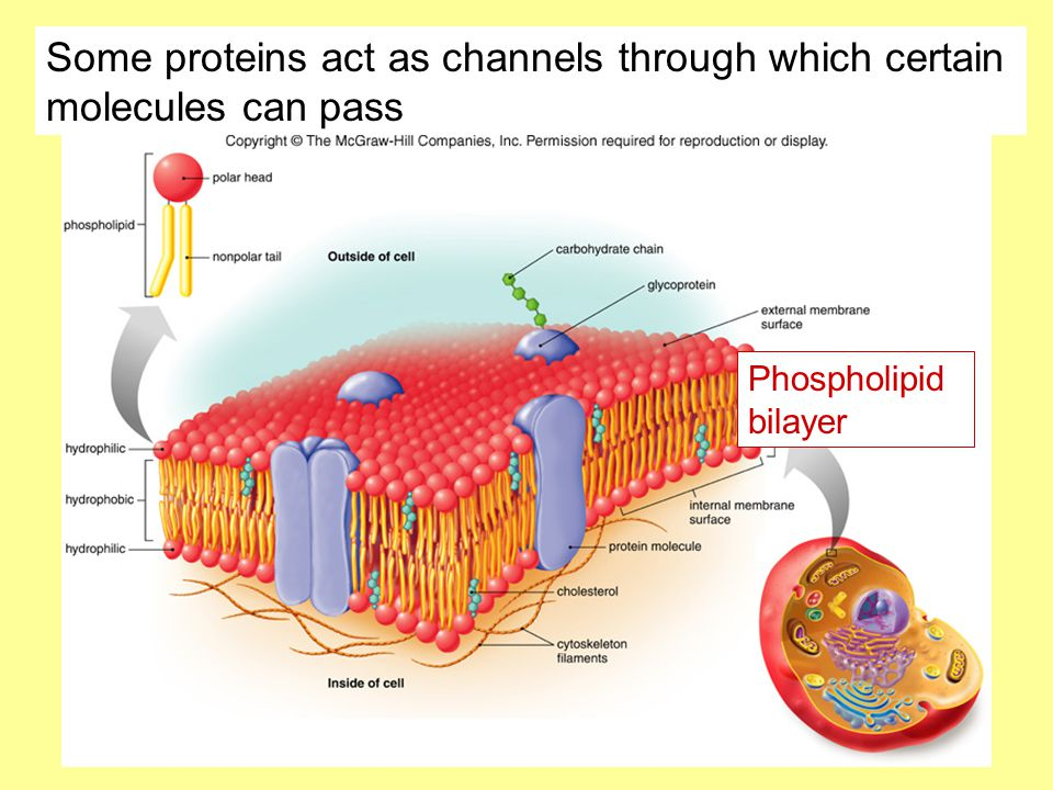 Some proteins act as channels through which certain molecules can pass