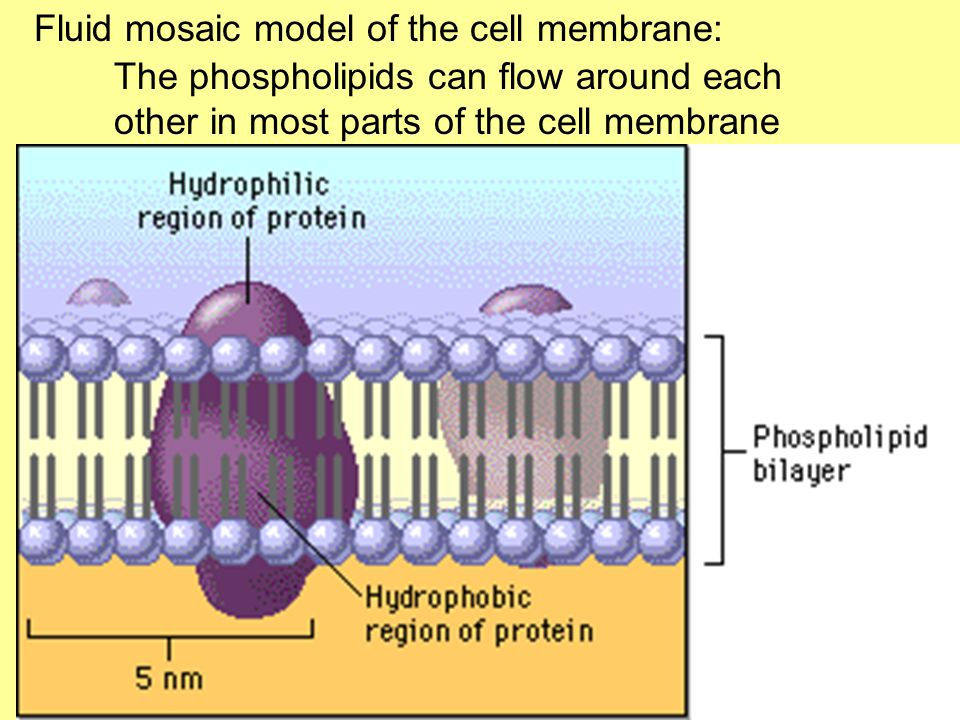 Fluid mosaic model of the cell membrane: