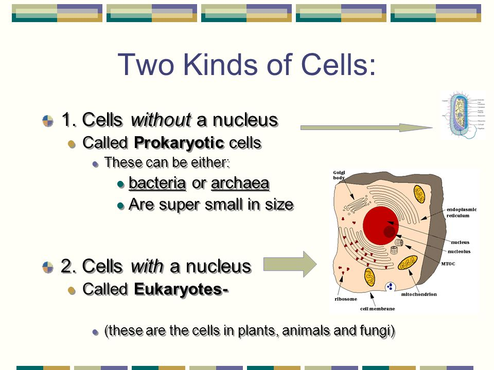 Two Kinds of Cells: 1. Cells without a nucleus 2. Cells with a nucleus