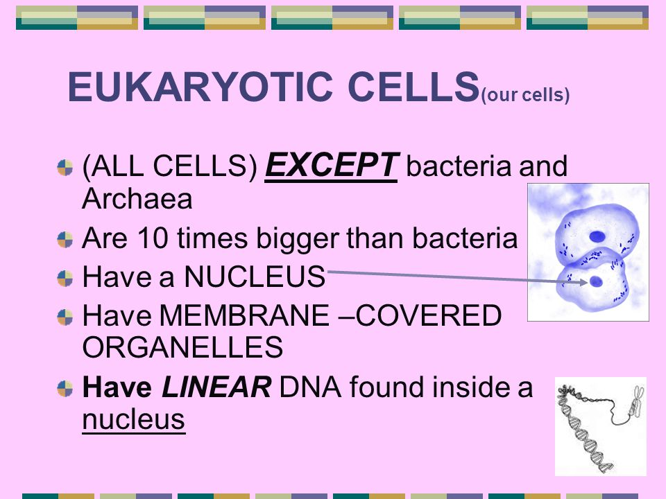 EUKARYOTIC CELLS(our cells)
