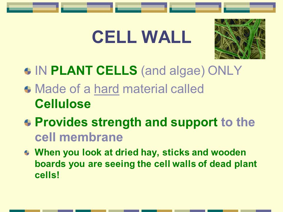 CELL WALL IN PLANT CELLS (and algae) ONLY