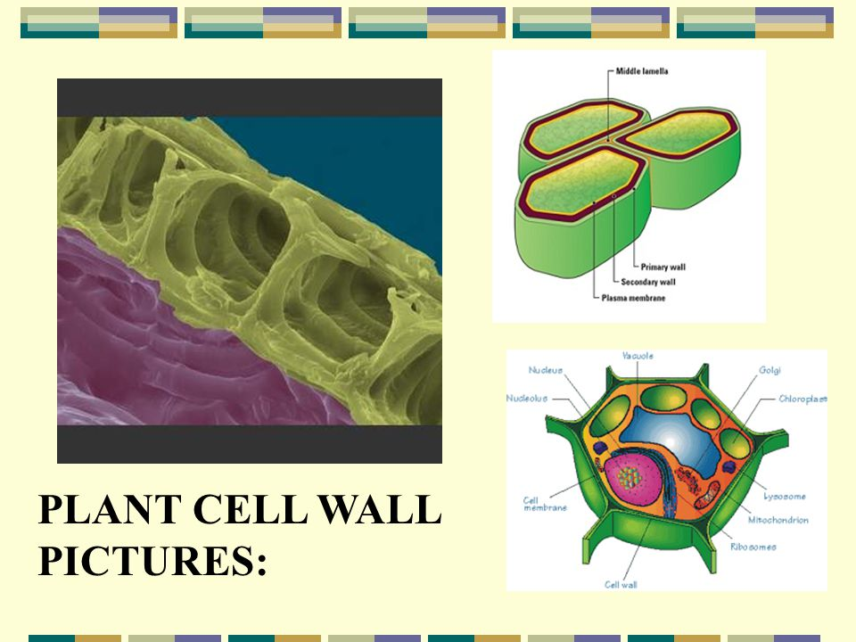 PLANT CELL WALL PICTURES: