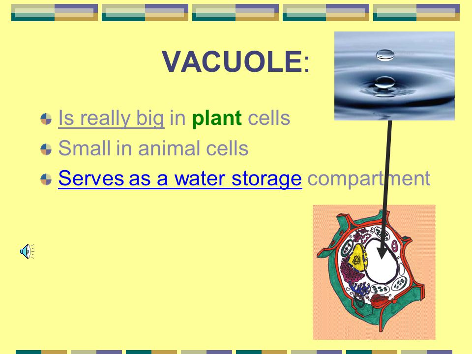 VACUOLE: Is really big in plant cells Small in animal cells