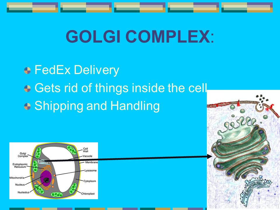 GOLGI COMPLEX: FedEx Delivery Gets rid of things inside the cell