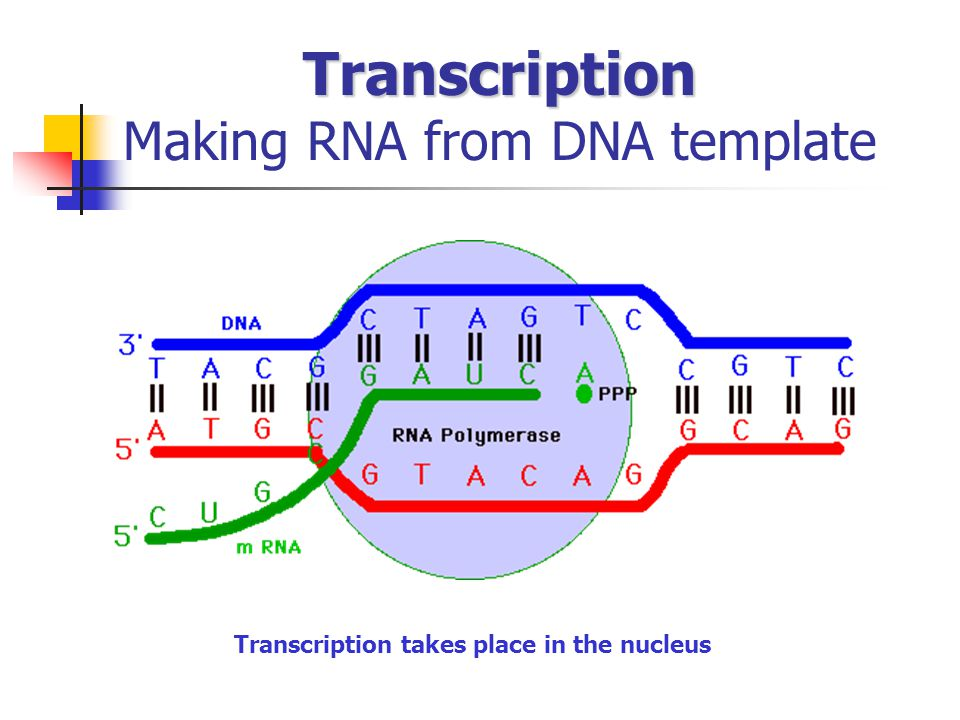 Transcription Making RNA from DNA template