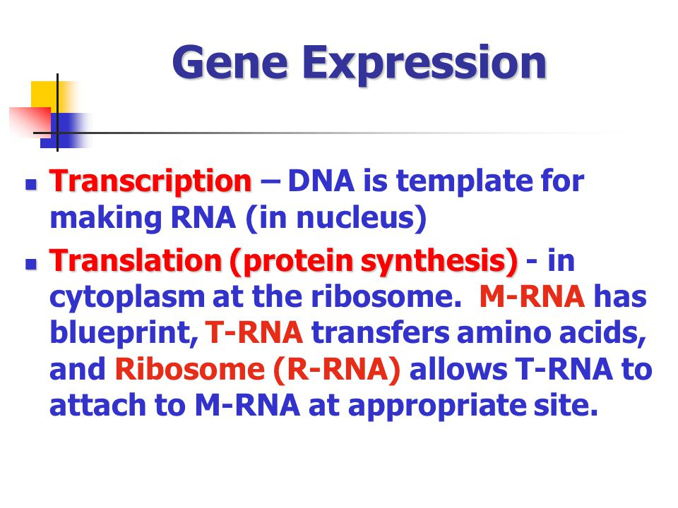 Gene Expression Transcription – DNA is template for making RNA (in nucleus)