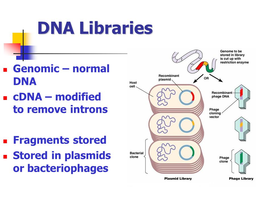 DNA Libraries Genomic – normal DNA cDNA – modified to remove introns