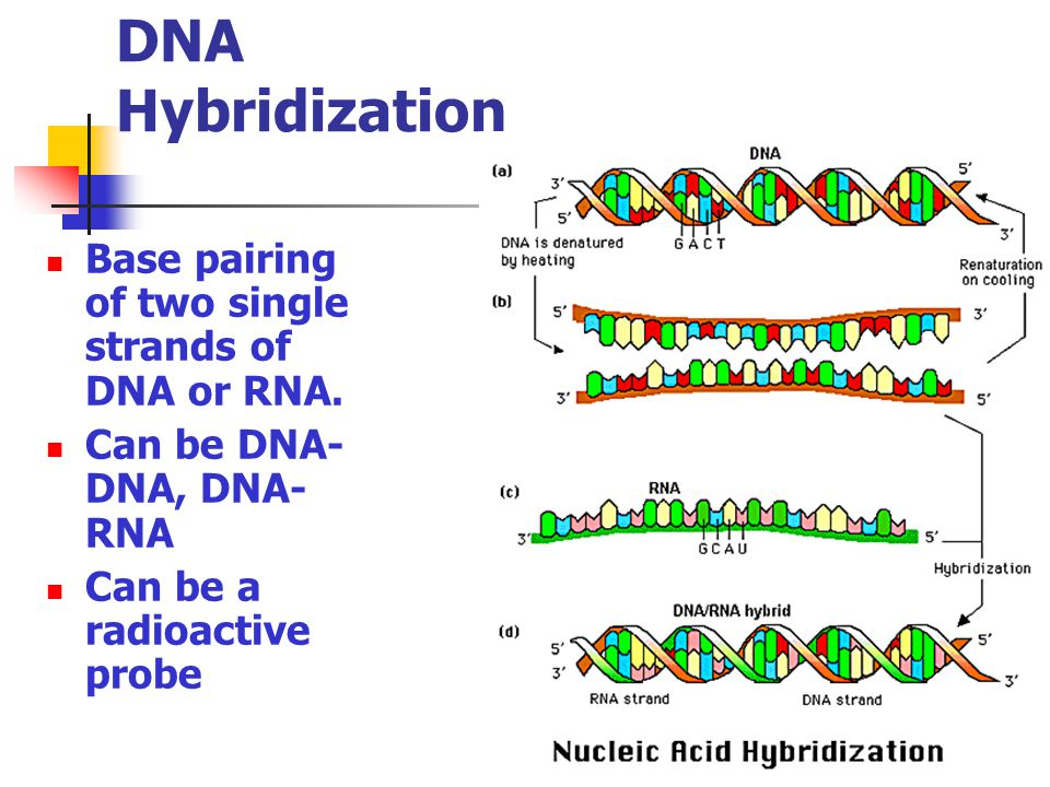 DNA Hybridization Base pairing of two single strands of DNA or RNA.