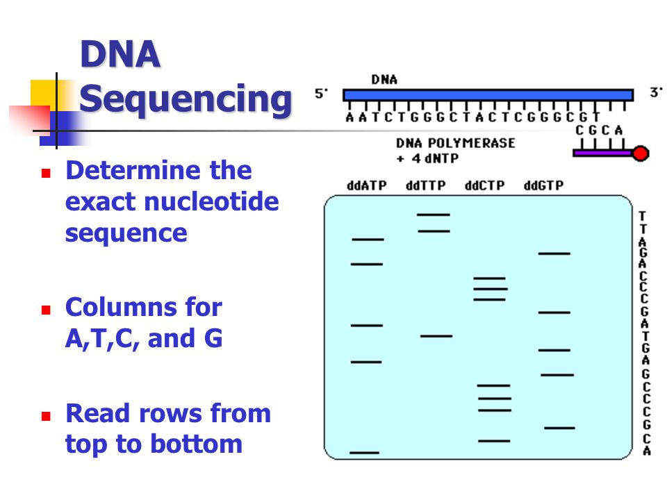 DNA Sequencing Determine the exact nucleotide sequence