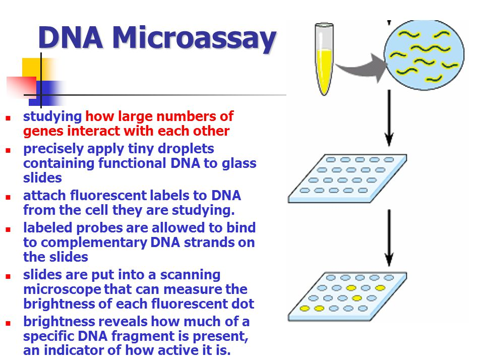 DNA Microassay studying how large numbers of genes interact with each other. precisely apply tiny droplets containing functional DNA to glass slides.