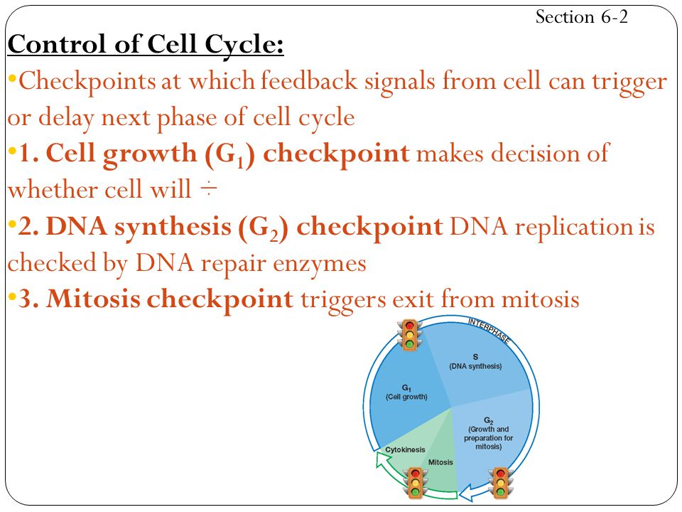 1. Cell growth (G1) checkpoint makes decision of whether cell will ÷