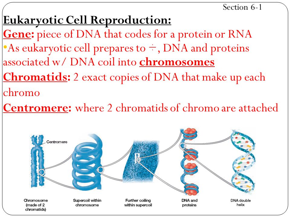 Eukaryotic Cell Reproduction: