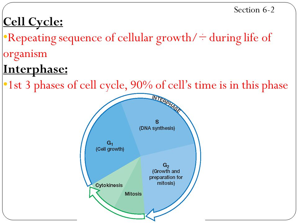 Repeating sequence of cellular growth/÷ during life of organism