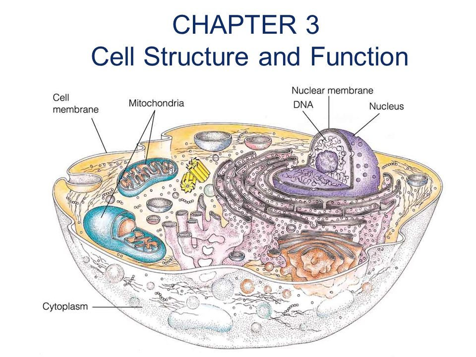 CHAPTER 3 Cell Structure and Function