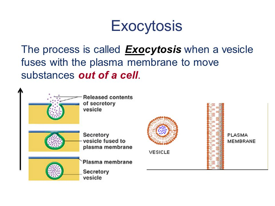 Exocytosis The process is called Exocytosis when a vesicle fuses with the plasma membrane to move substances out of a cell.