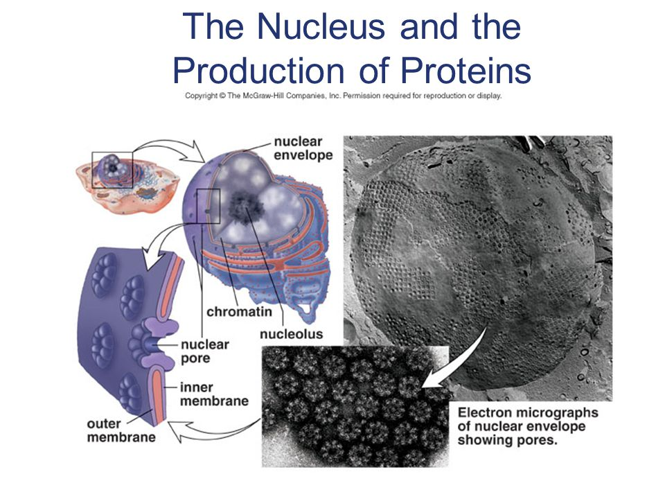 The Nucleus and the Production of Proteins