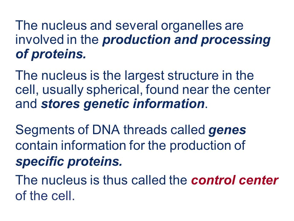 The nucleus and several organelles are involved in the production and processing of proteins.