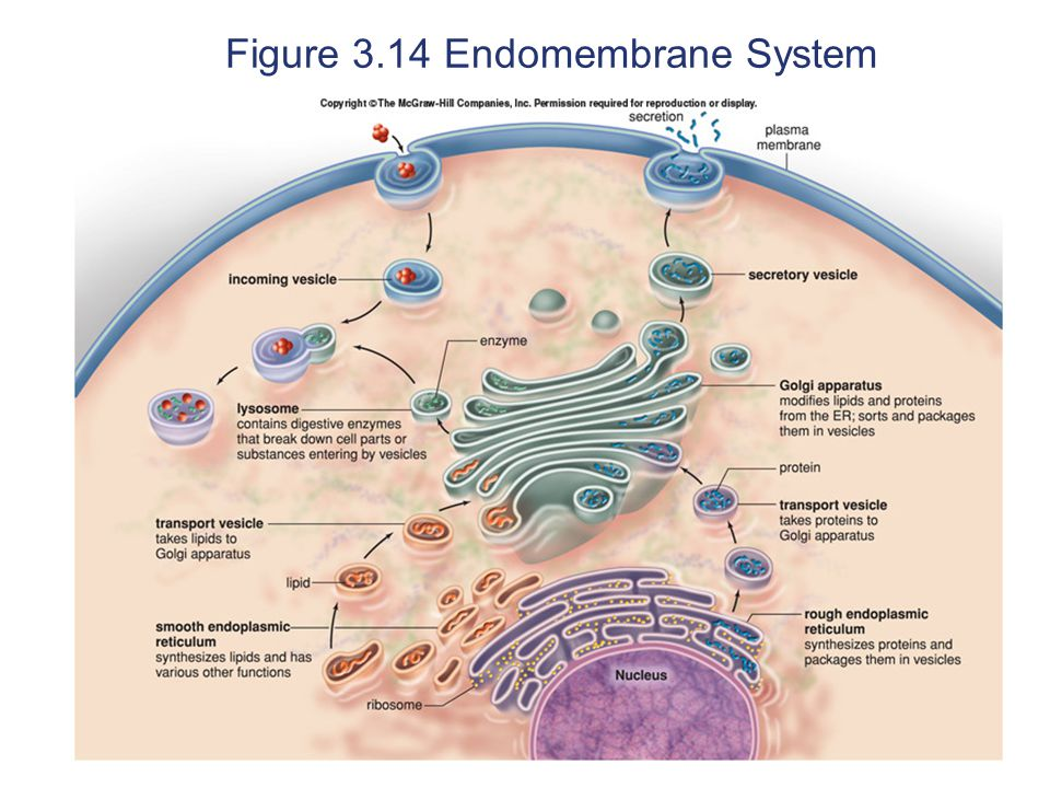 Figure 3.14 Endomembrane System