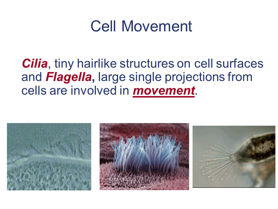 Cell Movement Cilia, tiny hairlike structures on cell surfaces and Flagella, large single projections from cells are involved in movement.