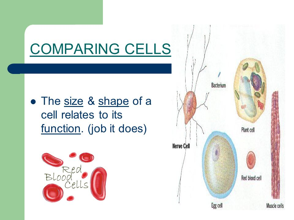 COMPARING CELLS The size & shape of a cell relates to its function. (job it does)