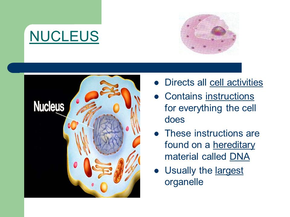 NUCLEUS Directs all cell activities