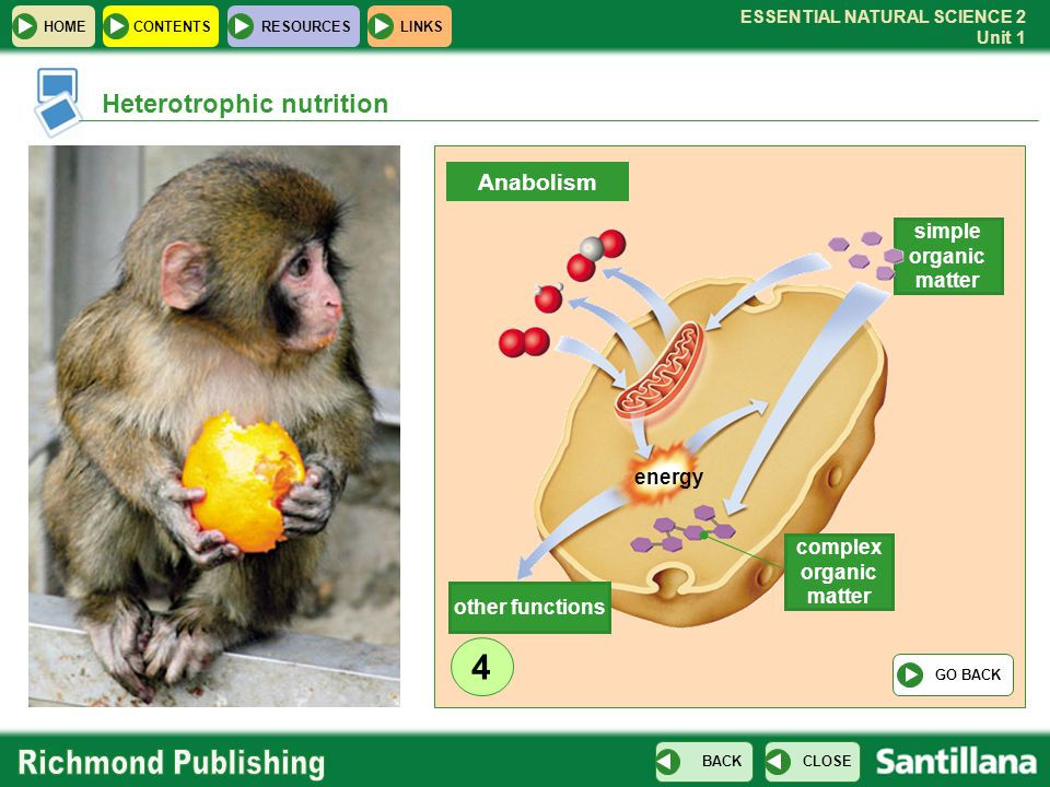 4 Heterotrophic nutrition Anabolism simple organic matter energy