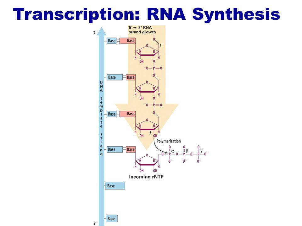 Transcription: RNA Synthesis