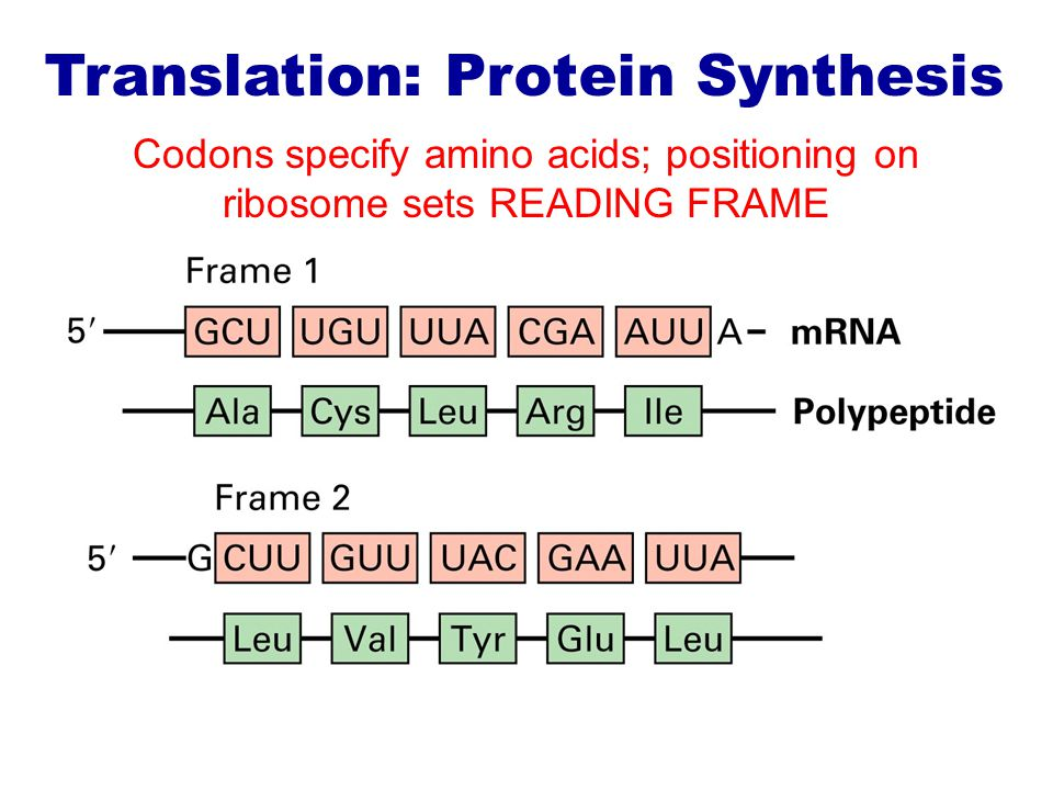 Codons specify amino acids; positioning on ribosome sets READING FRAME