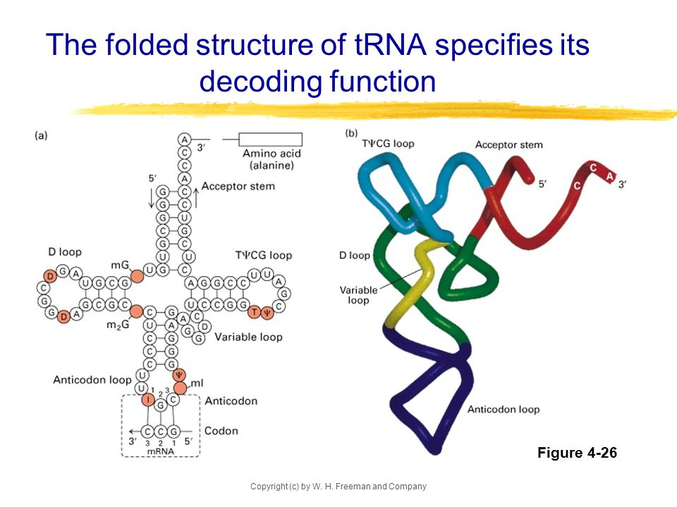 The folded structure of tRNA specifies its decoding function