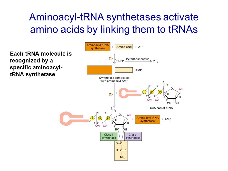 Aminoacyl-tRNA synthetases activate amino acids by linking them to tRNAs
