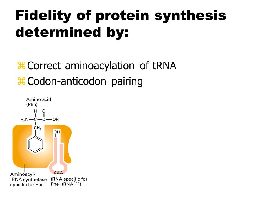 Fidelity of protein synthesis determined by: