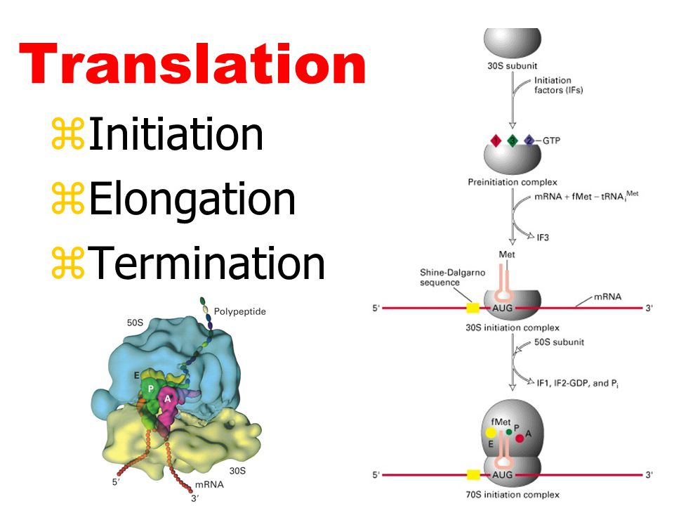 Translation Initiation Elongation Termination