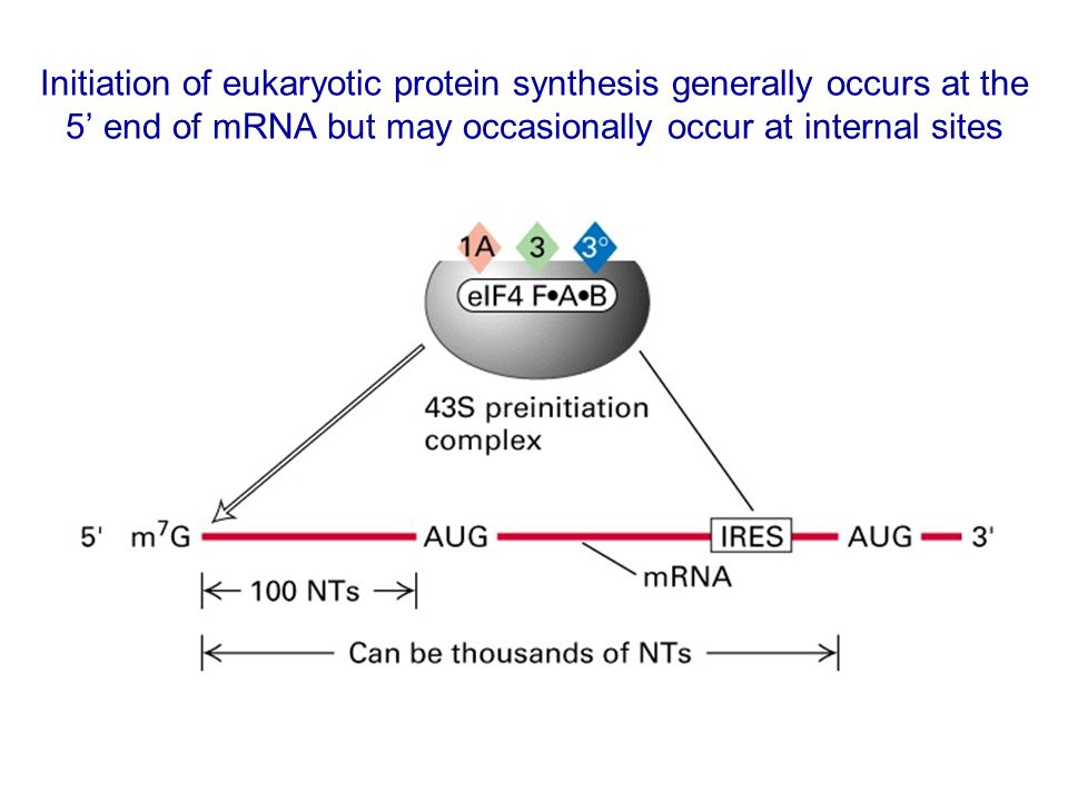 Initiation of eukaryotic protein synthesis generally occurs at the 5' end of mRNA but may occasionally occur at internal sites