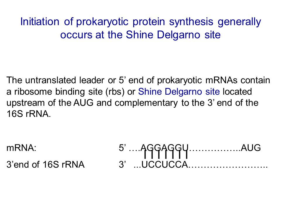 Initiation of prokaryotic protein synthesis generally occurs at the Shine Delgarno site