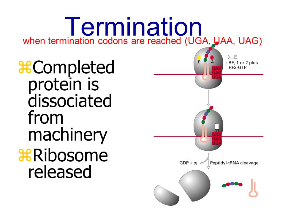 when termination codons are reached (UGA, UAA, UAG)
