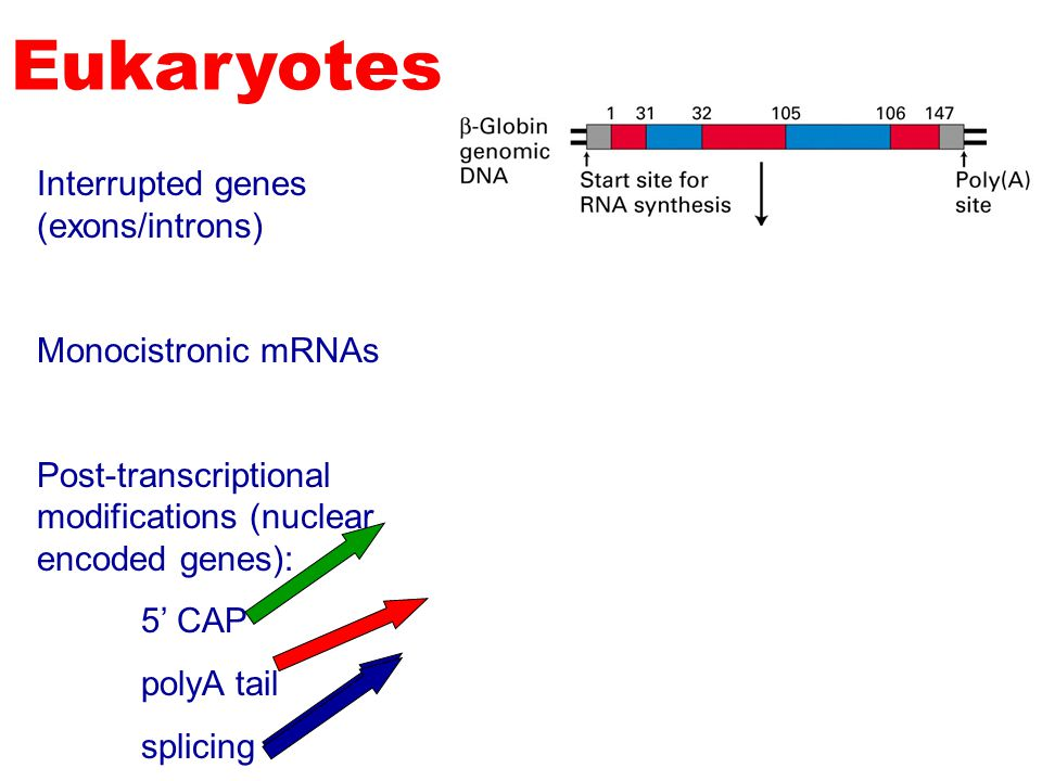 Eukaryotes Interrupted genes (exons/introns) Monocistronic mRNAs
