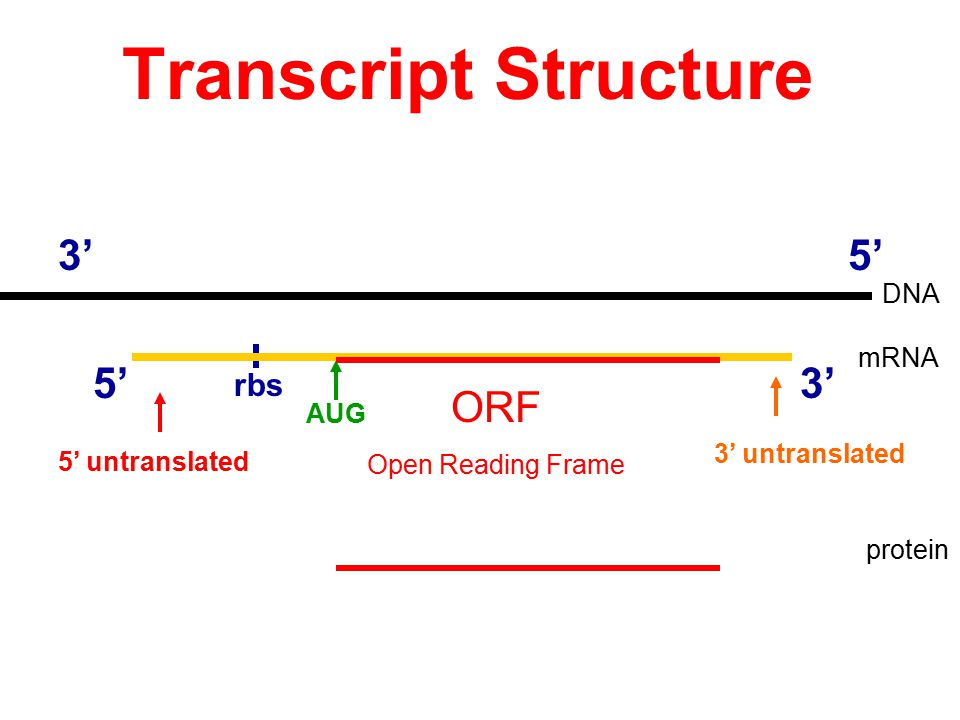 Transcript Structure 3' 5' 5' 3' ORF rbs DNA mRNA AUG