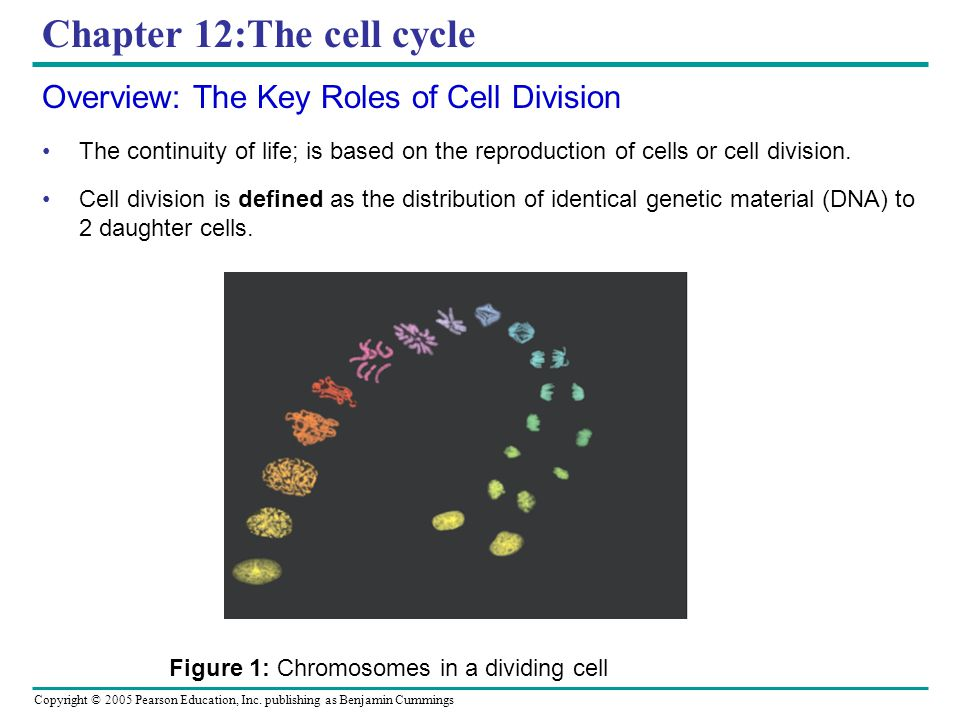 Chapter 12:The cell cycle